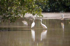 White egrets wading with reflection in shallow water, Celestun,. Mexico Stock Photo