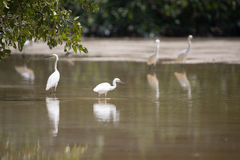 White egrets wading with reflection in shallow water, Celestun,. Mexico Stock Photography