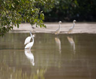 White egrets wading with reflection in shallow water, Celestun,. Mexico Royalty Free Stock Photography