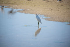 White Egrets Royalty Free Stock Photography