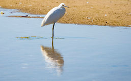 White Egrets Stock Image