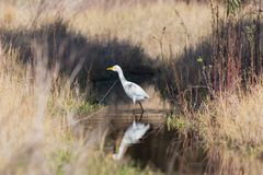 White egypt egret has over water stock images