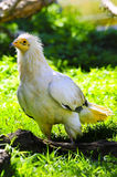 White Egyptian Vulture Stock Image
