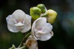 White elata orchid Stock Photos