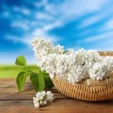 White elderberry Royalty Free Stock Photo