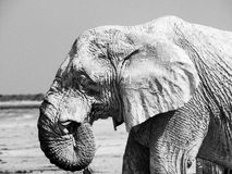 White elephant Stock Images