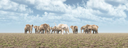 White elephant in an elephant herd Royalty Free Stock Image