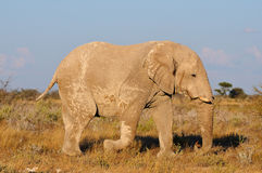 White Elephant, Etosha National Park, Namibia Royalty Free Stock Photos