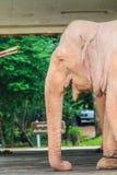 White elephant, Myanmar Stock Photography