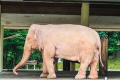 White elephant, Myanmar Royalty Free Stock Image