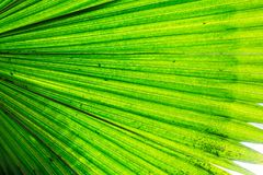 White Elephant Palm Backlit with Wider View. Beautiful hues of green and yellow shine through this elephant palm.  A terrific texture or background for a project Stock Photos