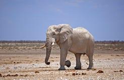white elephant walking across the Etosha national park Royalty Free Stock Images