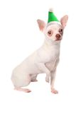 White Elf chihuahua Stock Images
