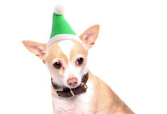 White Elf chihuahua Stock Photo