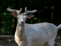 White elk royalty free stock photography