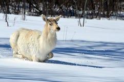 White Elk Stock Photo