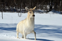 White Elk Royalty Free Stock Photos