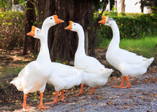 White Embden domestic geese Stock Image
