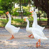 White Embden domestic geese Stock Photo