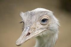White emu portrait. White emu with a blue eyes Stock Photos