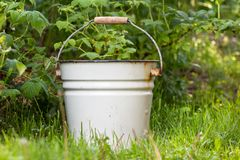 White enameled metal bucket. watering garden plants for growth and harvest. Empty white enameled metal bucket with a wooden handle near raspberry bushes royalty free stock photos