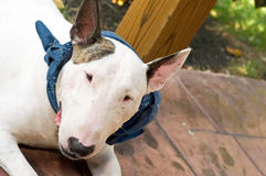 White English Bull Terrier. A portrait of a white English Bull Terrier, wearing a blue scarf, resting on the floor Stock Image