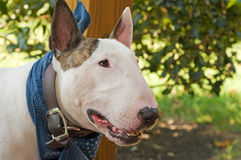 White English Bull Terrier. A portrait of a white English Bull Terrier, wearing a blue scarf, standing in the shade outdoors Royalty Free Stock Photos