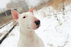 White English Bull Terrier Stock Photo