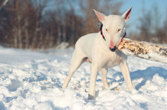 White English Bull Terrier play with a stick Royalty Free Stock Photography