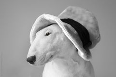 White English Bull Terrier. A portrait of a white English Bull Terrier Stock Photo