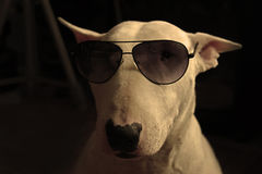 White English bull Terrier Royalty Free Stock Photography