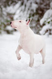 White english bull terrier winter portrait Royalty Free Stock Images