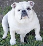 White English Bulldog Stock Photo