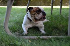 White English bulldog playing in grass Royalty Free Stock Images