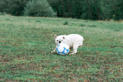 White English bulldog playing with soccer ball on the green field Royalty Free Stock Photos