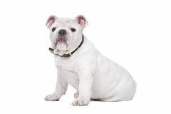 White English bulldog puppy Royalty Free Stock Photography