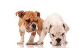 White english bulldog puppy picks up a scent. While sniffing on white background near its brother royalty free stock images