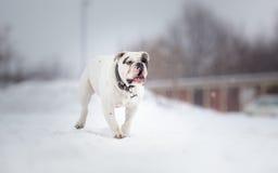 White English Bulldog Royalty Free Stock Images