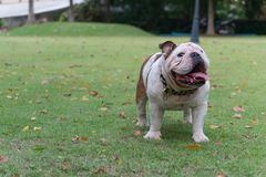 White english bulldog standing on the grass in the park, fat dog. With copy space for text royalty free stock images