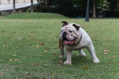 White english bulldog standing on the grass in the park, fat dog. With copy space for text stock photo