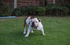 White English Bulldog threaten. White English Bulldog stand on the grass and threaten royalty free stock photography