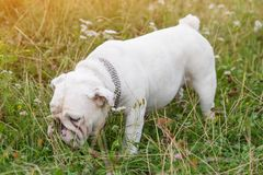 White English Bulldog walk in field, sniffs grass Stock Image