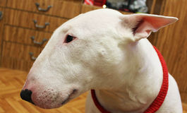 White English bullterrier Royalty Free Stock Images