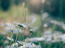White English Daisies in Bloom during Daytime Royalty Free Stock Image