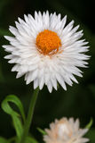 White English daisy (Bellis perennis) Stock Image