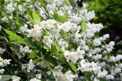 White English dogwood Philadelphus coronarius Royalty Free Stock Photo