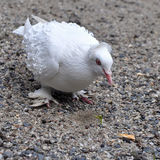 White english pigeon Royalty Free Stock Image