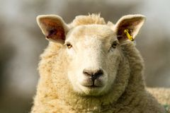 A white English sheep's head Royalty Free Stock Image