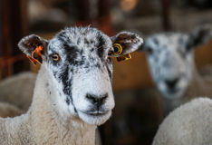 A white English sheep`s head Royalty Free Stock Photos