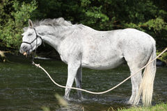 White English Thoroughbred horse with crazy look in river Royalty Free Stock Photography